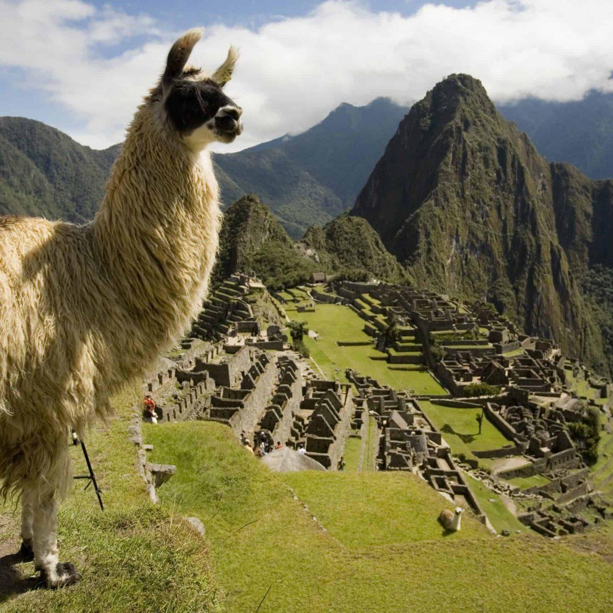 Llama en la ciudadela de Machu Picchu.
